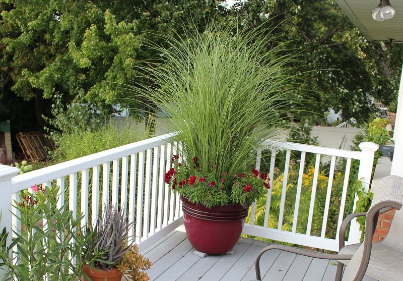 Amusing tall container plants for privacy photos best for Tall outdoor grasses