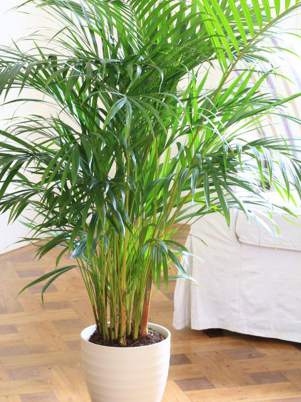 Parlor Palm Mini