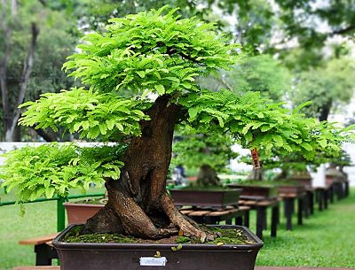 how to grow tamarind tree  growing tamarind, Beautiful flower