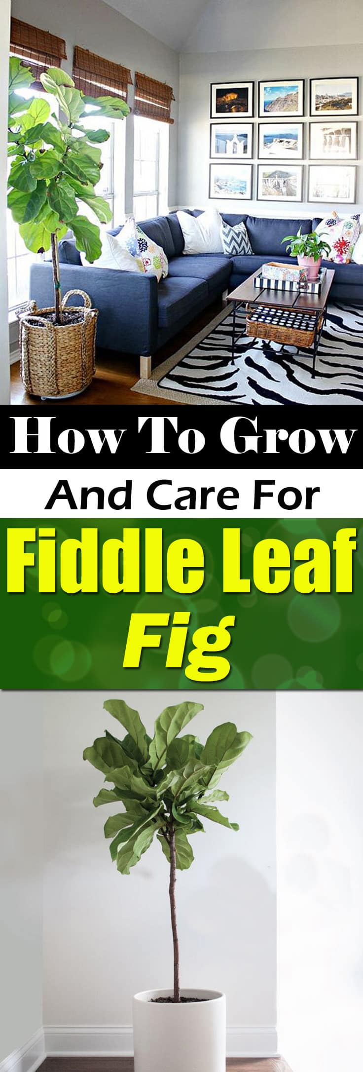 find out how to grow and care for fiddle leaf fig learn about the right - Fiddle Leaf Fig Tree Care