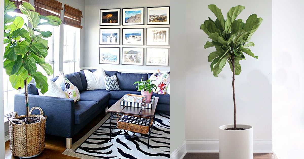 fiddle leaf fig care how to grow fiddle leaf fig tree - Fiddle Leaf Fig Tree