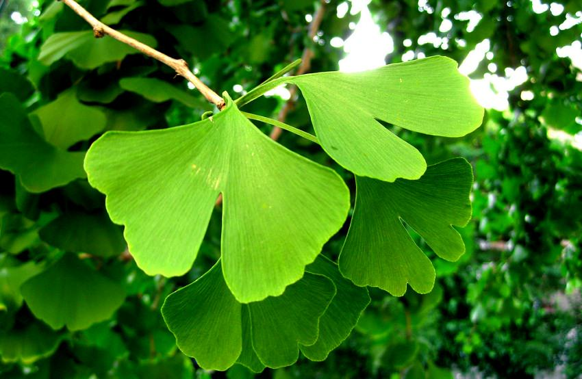 Ginkgo Biloba Tree Facts