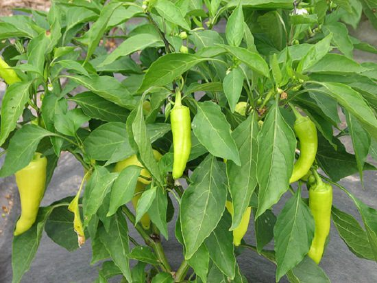 Green Pepper Plant Care Images
