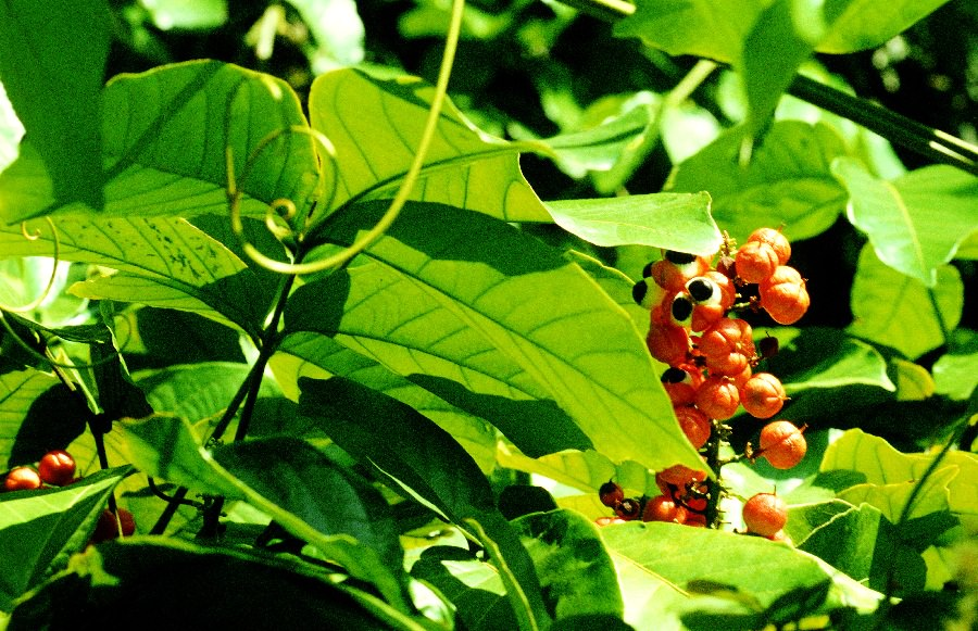 Growing Guarana How To Grow Guarana Balcony Garden Web