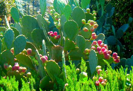 care and growing prickly pear cactus  how to grow prickly pears, Natural flower
