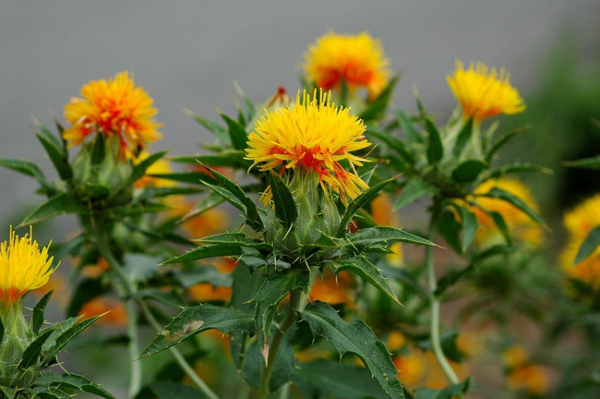 How to grow safflower growing safflower guide for Plants to grow in garden