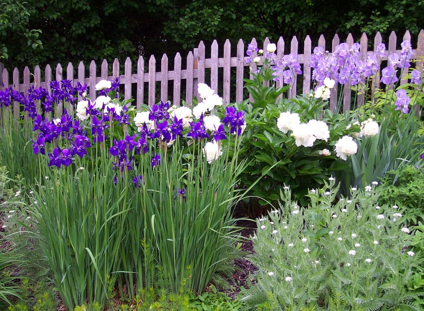 Iris Companion Plants Gardeners Guide on Companion Plants for