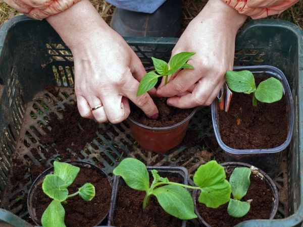 Seed starting mix vs potting soil balcony garden web seed starting mix vs potting soil which one you should use to sow seeds and why this post will answer your questions workwithnaturefo