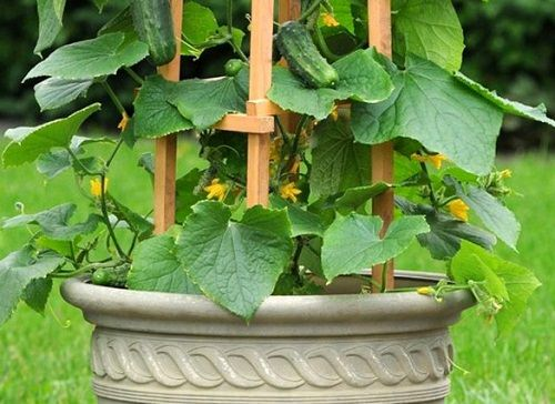 Marvelous Choosing Container And Trellis Cucumber On Trellis In Pot
