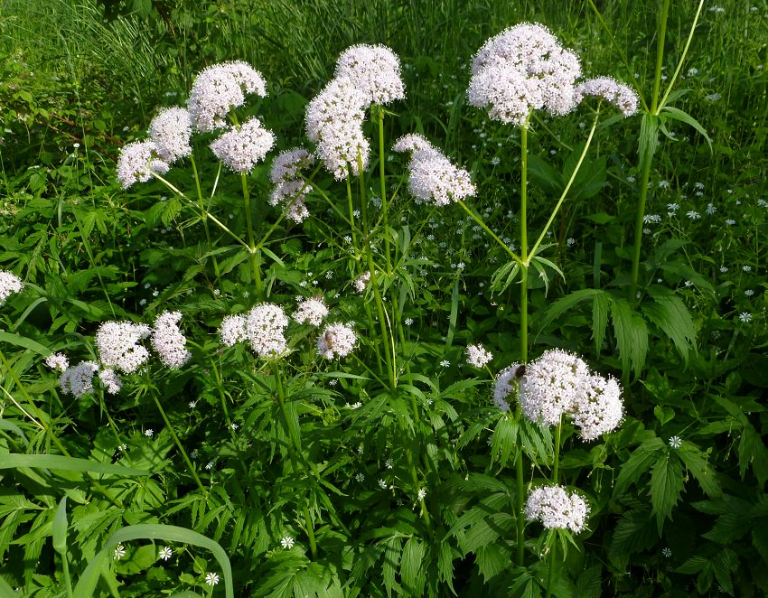 How to grow valerian growing valerian balcony garden web easy growing valerian is a perennial herb this flowering low maintenance medicinal herb is cold hardy its fragrant flowers and traditional medicinal use mightylinksfo
