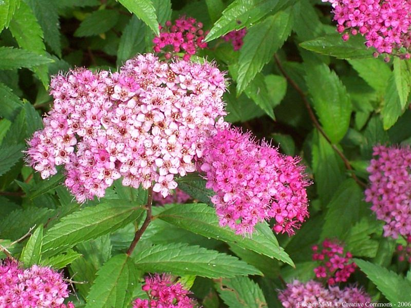 Growing and planting spirea spirea care guide balcony garden web learn how to care for spirea in this spirea care guide growing and planting spirea is rewarding as this perennial flowering shrub is low maintenance mightylinksfo