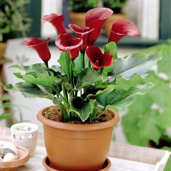 Calla lilies are beautiful, but at the same time, they are one of the  poisonous plants for dogs and cats. When the plant is chewed, clinical  signs are ...