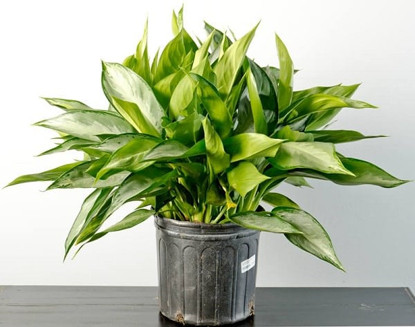 19 Easiest Houseplants You Can Grow without Care | Balcony Garden Web
