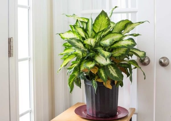 Often called dumb cane, it is one of the easiest houseplants you can grow  at your home but be careful if you own a dog or cat that is playful.