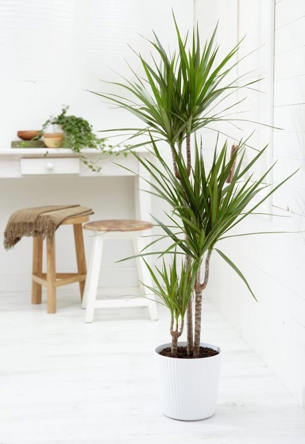 there are many varieties of dracaena genus that are hardy houseplants dracaena marginata dracaena fragrans are among the most popular and easy to grow
