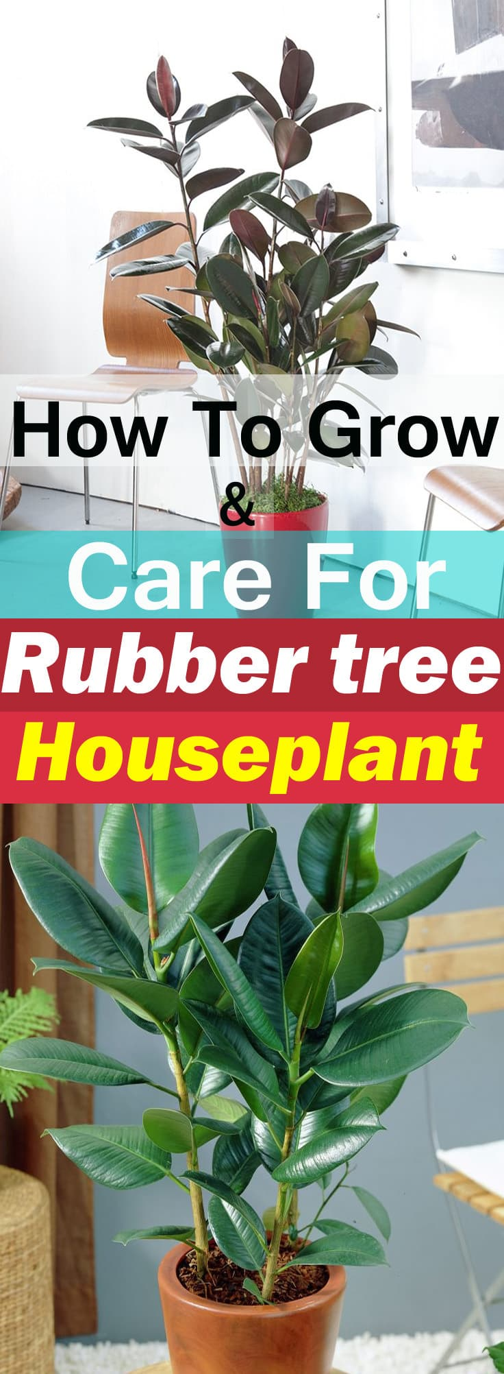 rubber tree plant care as a houseplant is easy if you keep it in a