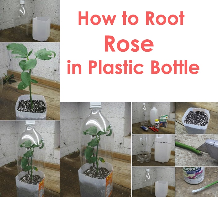 30 Diagrams to Make You Master in Growing Roses Balcony