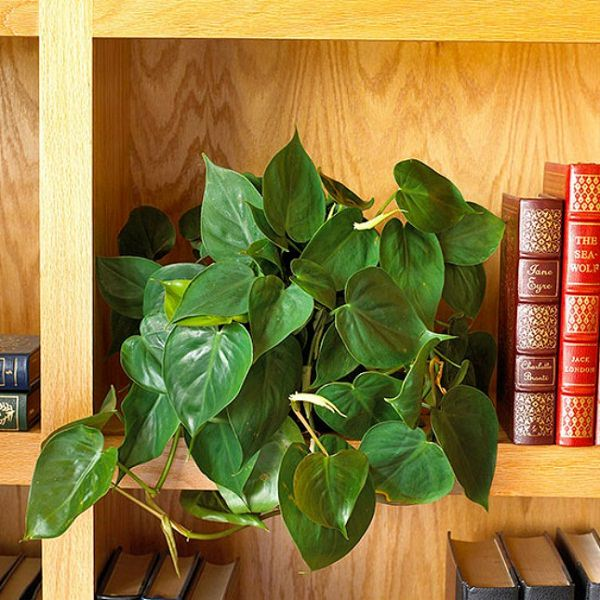 philodendron easily adapt to low light conditions they come in both vine and shrub varieties