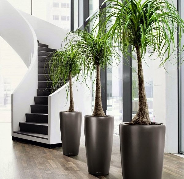 the ponytail palm is not really a palm at all but a succulent from the lily family it is an elegant and strange looking house plant - Mini Roses Care Indoor