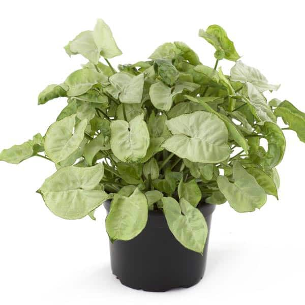 34 poisonous houseplants for dogs plants toxic to dogs Houseplants not toxic to cats