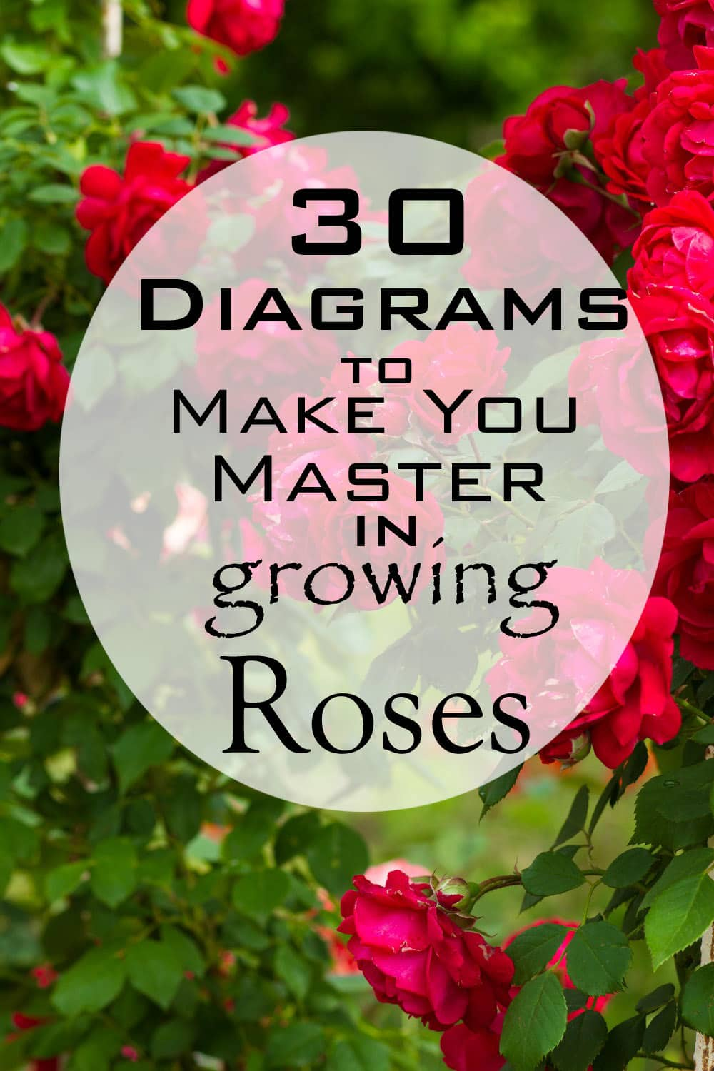30 diagrams to make you master in growing roses balcony garden web see below in the illustration the basics of growing and planting roses ccuart Images
