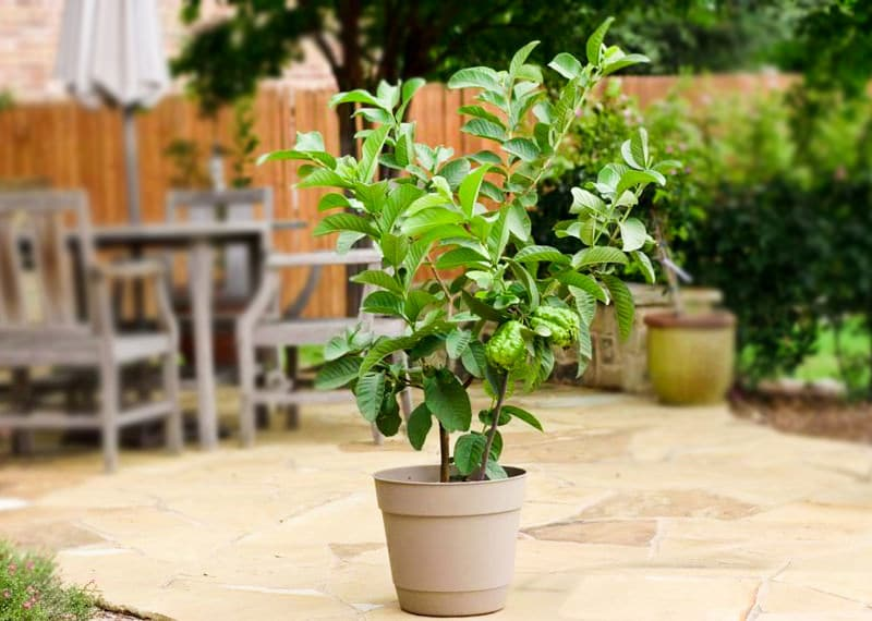Growing guava in pots guava tree care and information for Growing a lemon tree in a pot from seed