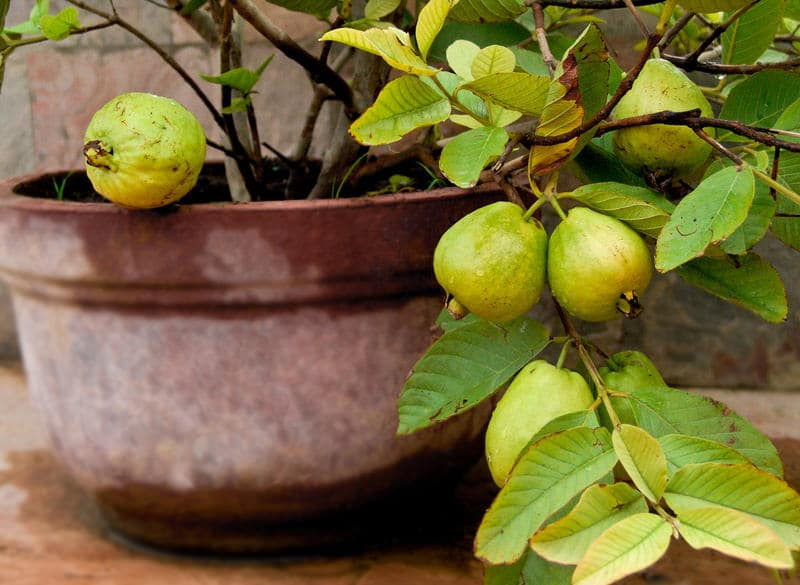 Providing Tree And Plant Care: Guava Tree Care And Information