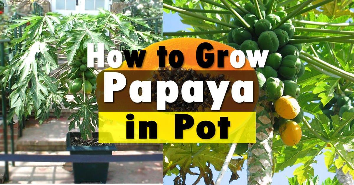 How to Grow Papaya | Growing Papaya Tree and Care | Balcony Garden Web