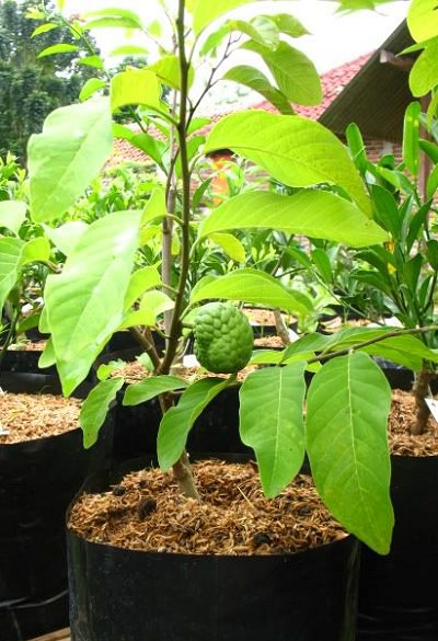 How to Grow Sugar Apple | Complete Guide on Growing Sugar ...