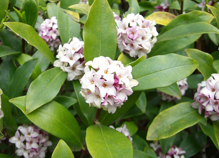 Shrubs that bloom all year year round shrubs according for Flowering landscape plants