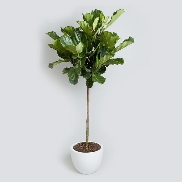 fiddle leaf fig due to its large leathery foliage and height can be a great addition to your home plant it in the living room in a spot where it will
