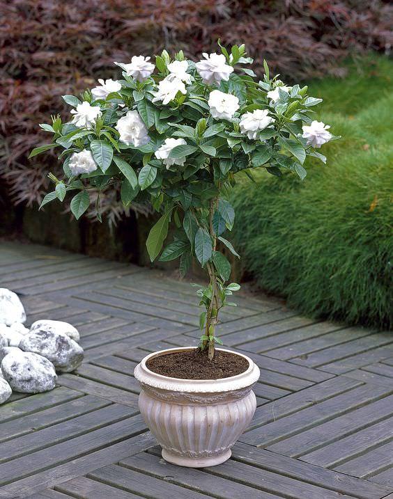 Gardenia Plant Care. Gardenia Jasminoides