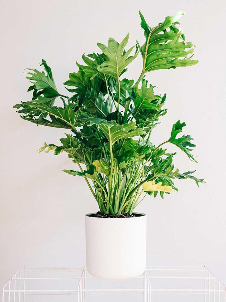 the philodendron family includes many successful houseplants there are tall species too for example tree philodendron philodendron selloum - Tall Potted Plants