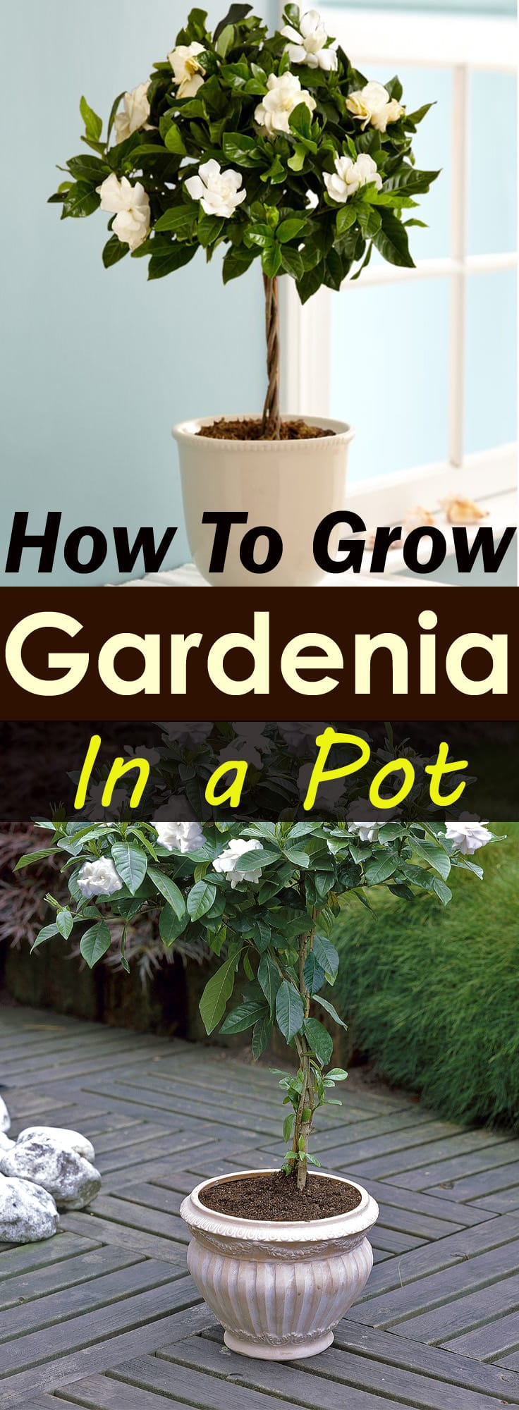How To Grow It And How To Use It For: Gardenia Tree Care And How To