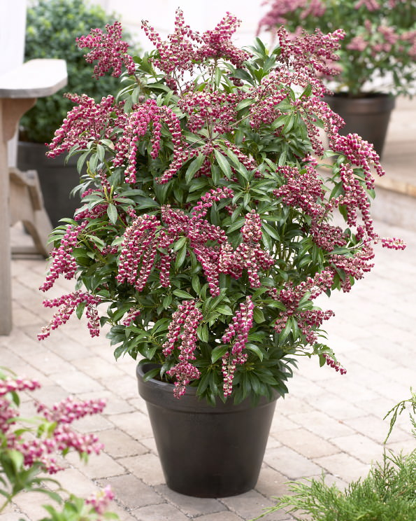 Japanese Pieris  Passion  2. 44 Best Shrubs for Containers   Best Container Gardening Plants