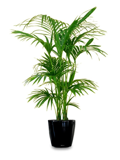 it is one of the sturdiest houseplants it is easy to maintain and often seen in offices and stores