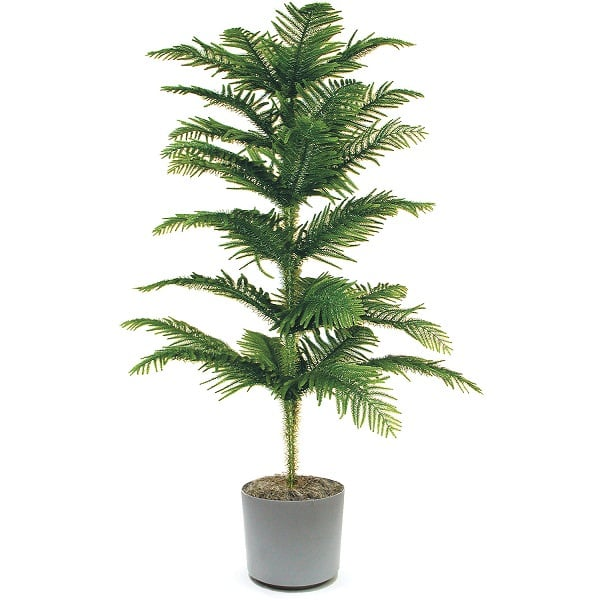 norfolk island pine is not a true pine though looks like one in its natural habitat this majestic tree can grow up to several 100 feet 65 m high