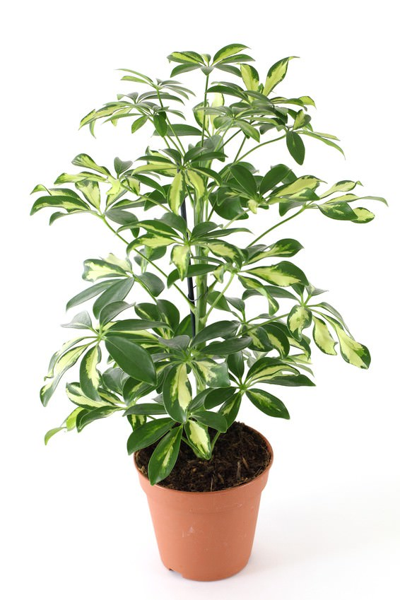 Schefflera Is A Well Known Houseplant With Typical Foliage It Easy To Maintain Though Like All The Other Tall Houseplants In This List