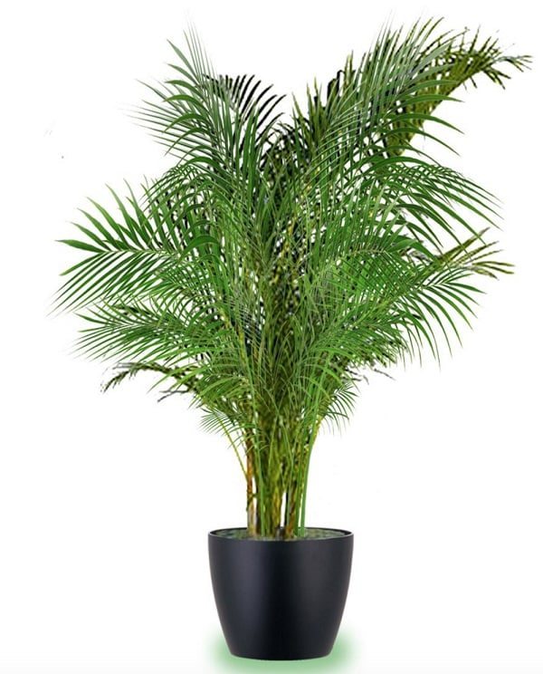 best large indoor plants  tall houseplants for home and, Natural flower