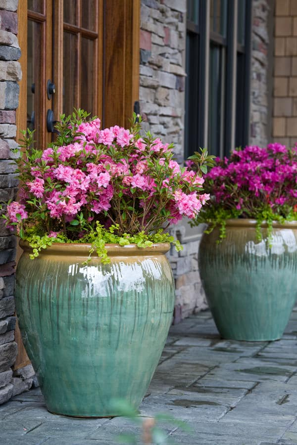 azalia in pot. 44 Best Shrubs for Containers   Best Container Gardening Plants