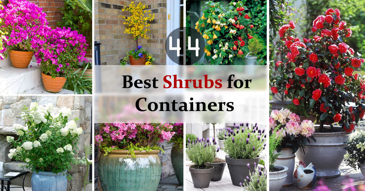 Great 44 Best Shrubs For Containers | Best Container Gardening Plants | Balcony  Garden Web