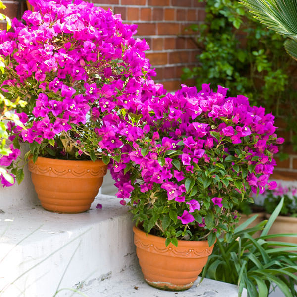 44 best shrubs for containers best container gardening for Easy plants to grow in pots outside