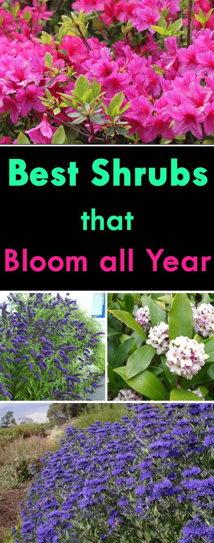 Shrubs that bloom all year year round shrubs according for Ornamental grasses that stay green all year