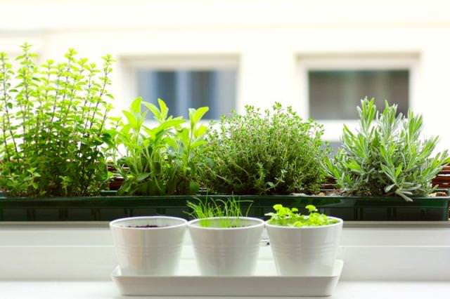 12 Best Herbs to Grow Indoors Indoor Herbs Balcony Garden Web