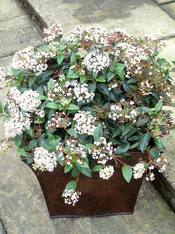 44 best shrubs for containers best container gardening. Black Bedroom Furniture Sets. Home Design Ideas