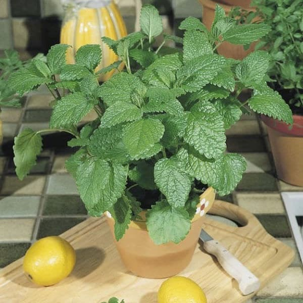 Lemon Balm Grows Year Round In Warmer Zones. Some Gardeners Even Consider  It A Weed. Growing Lemon Balm Indoors Is Super Easy If You Can Provide It  An ...