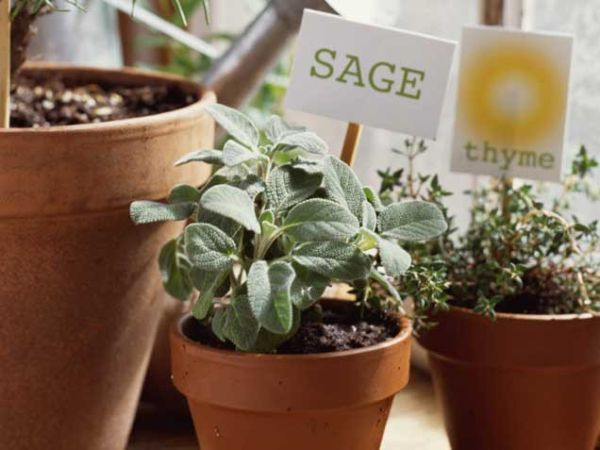 Grow Sage Indoors Only If You Have A South Or West Facing Window That  Receives Plenty Of Sun. This Perennial Herb Takes A Lot Of Time To Get  Established ...