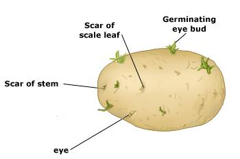 Growing Potatoes In Containers How To Grow Potatoes In