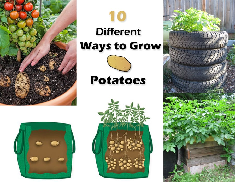 10 Ways To Grow Potatoes