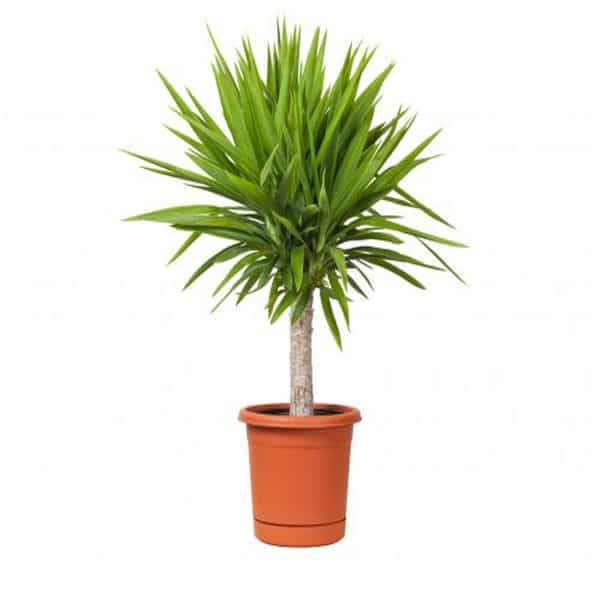 Yucca Is A Tough Plant That Can Be Grown Both Indoors And Outdoors It Quickly Becomes Large If Sufficient Light Provided When Growing